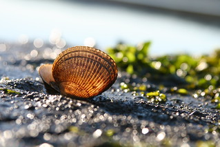 Golden glowing shell - beauty from the sea! | by Librarianguish