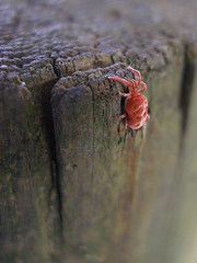 Red velvet mite | by erica_naturegirl