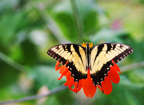 Summer Butterfly | by ` Toshio '