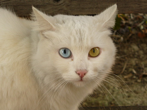 Il gatto Briciola, my friend with pretty eyes | by pizzodisevo 1937,
