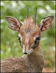 Portrait of a Dik-Dik | by Edgar Thissen