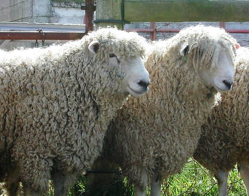 Curly haired rams | by baalands