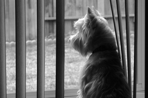 Wee Westie Longing for Squirrel Dinner | by Randy Son Of Robert