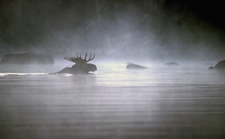 mystical moose | by Steve took it