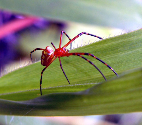 Papuan spider | by Mangiwau