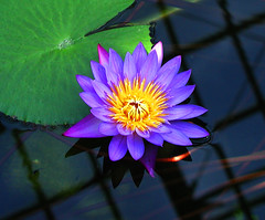 Purple Water Lily | by NatashaP