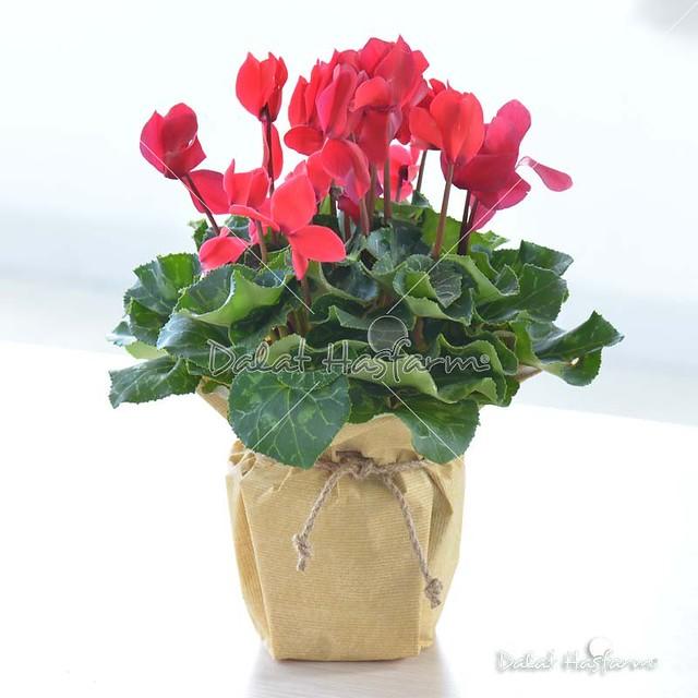 hoa anh thảo chúc mừng sinh nhật cực đẹp
