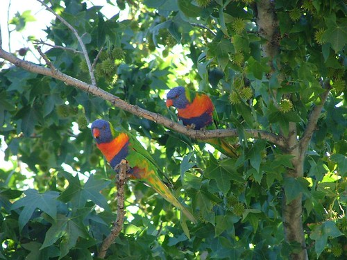 Rainbow Lorikeets - V & C's back Garden | by Rantz
