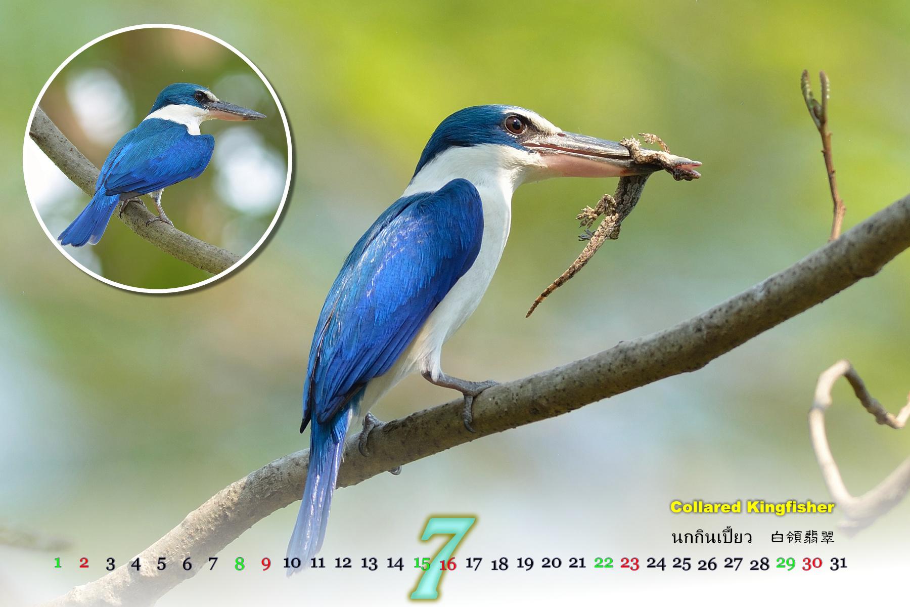 Thai Bird Calendar 2017_07
