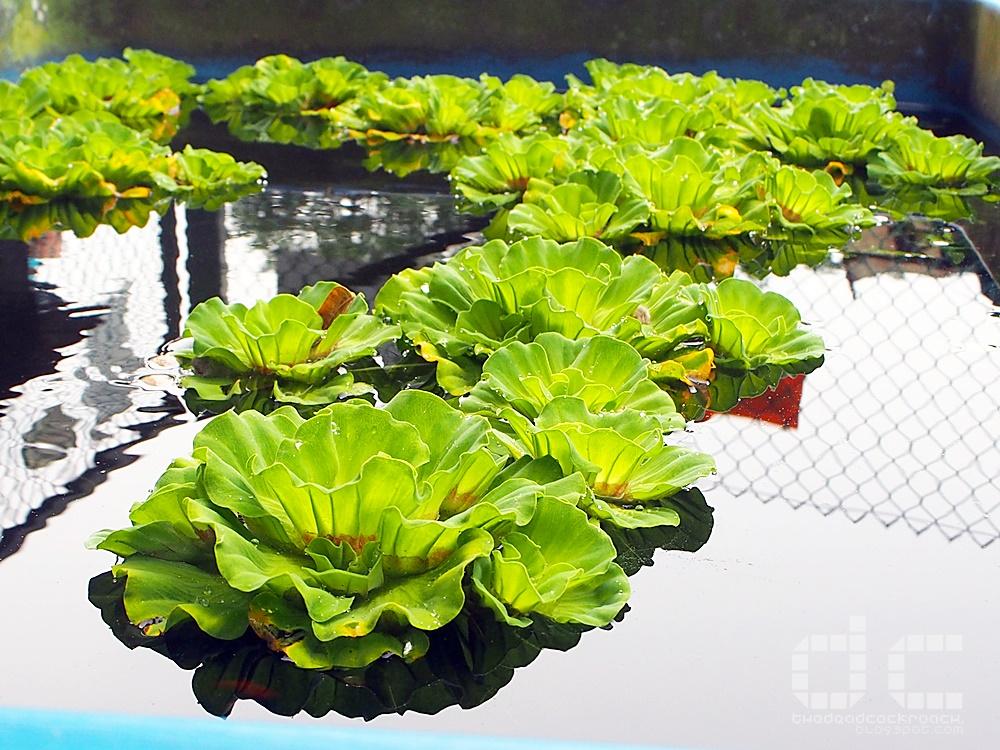 animal corner, farm, farm tour, farmart centre, singapore, where to go in singapore, 农市中心, 農市中心, review,farmart,water lettuce