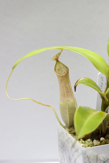 Nepenthes eustachya (x gracilis?)