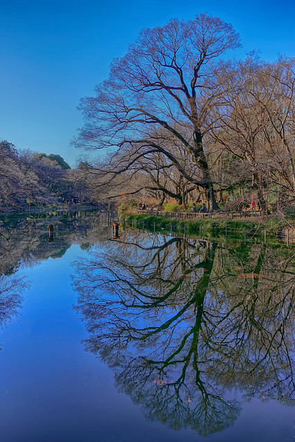 Inokashira pond reflection at Inokashira park 13