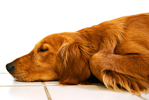 The trusting and spoiled Golden Retriever dreams away an afternoon | by Andrew Morrell Photography