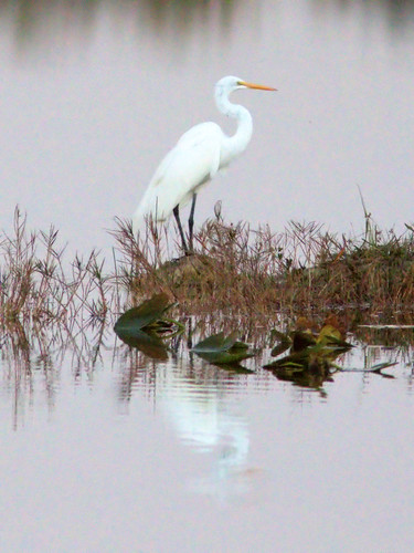 Great Egret 2-20170103