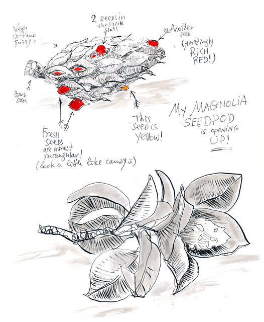 Sketchbook #101: Treasures - Magnolia Seed Pod