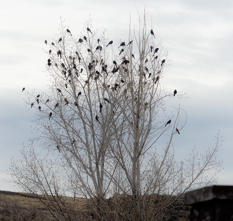 Roosting Grackles