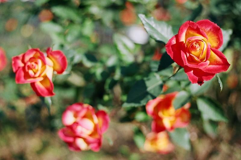バラ|Roses