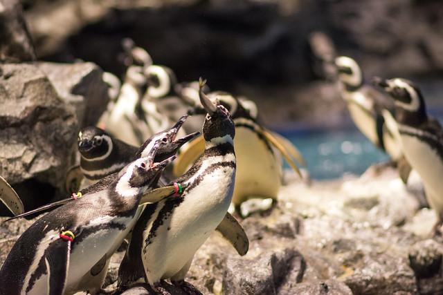 ごはんタイムで魚をゲットしたペンギンの写真