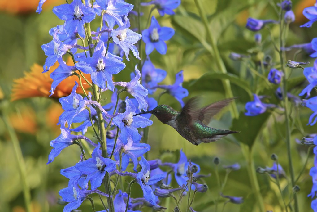 A flash of color - male rubythroat on delphinium