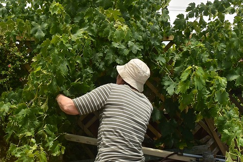 "Jill used her secateurs provide some more sunlight to our ""Lady finger"" grapes yesterday"