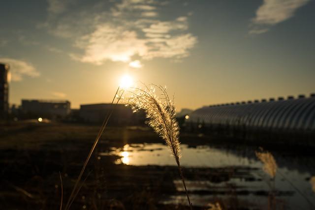 夕日を浴びるススキの写真