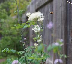 Bumblebee Approaching
