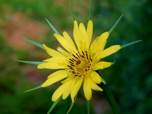 Yellow Goatsbeard Flower (2)