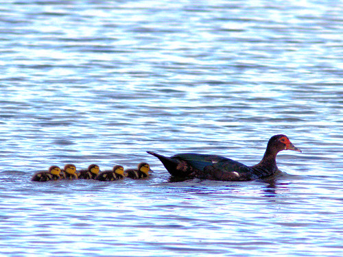 Muscovy Duck and ducklings 20170101