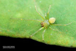 Orb weaver spider (Araneus sp.) - DSC_6274