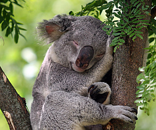 koala dreams | by jaki good miller