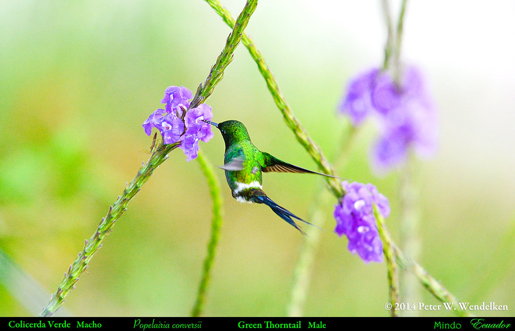 GREEN THORNTAIL MALE Popelairia conversii (hummingbird) Feeding at Purple Flowers in Mindo in Northwestern ECUADOR. Hummingbird Photo by Peter Wendelken.