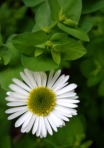 Daisy among the greens | by mikeworld