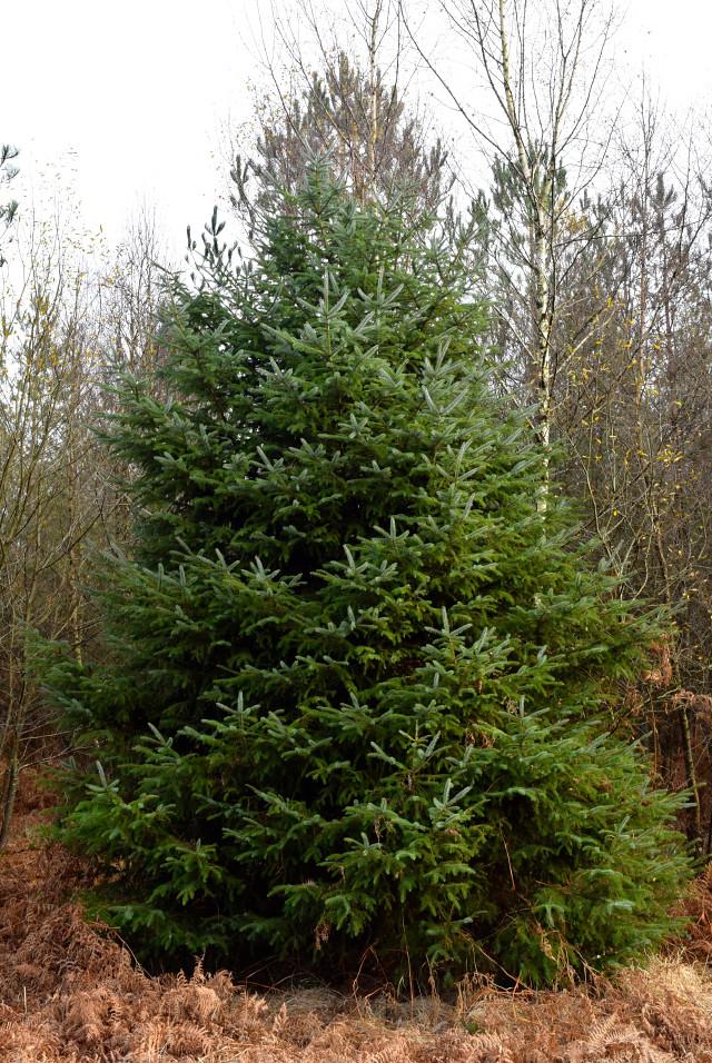Christmas Tree in Villecartier Forest, Brittany | www.rachelphipps.com @rachelphipps