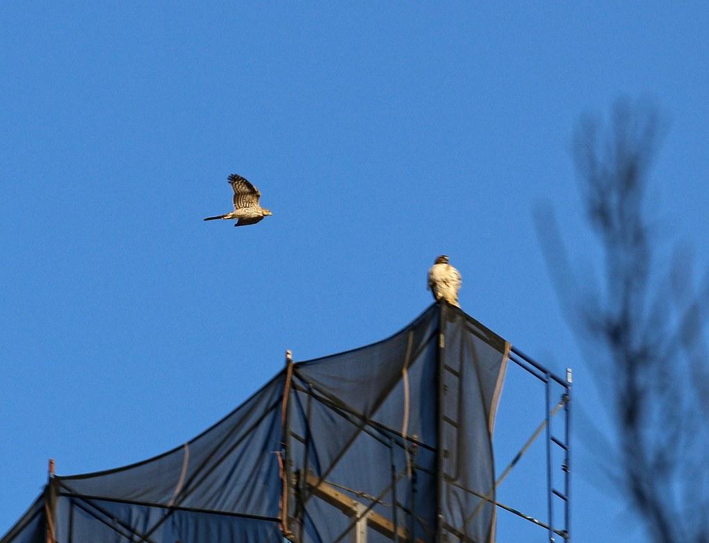 A Cooper's hawk approaches Dora