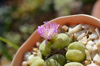 DSC_4691 Conophytum pillansii  コノフィツム ピランシー 翠光玉