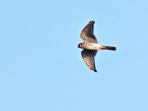 American Kestrel in flight  04-20161212