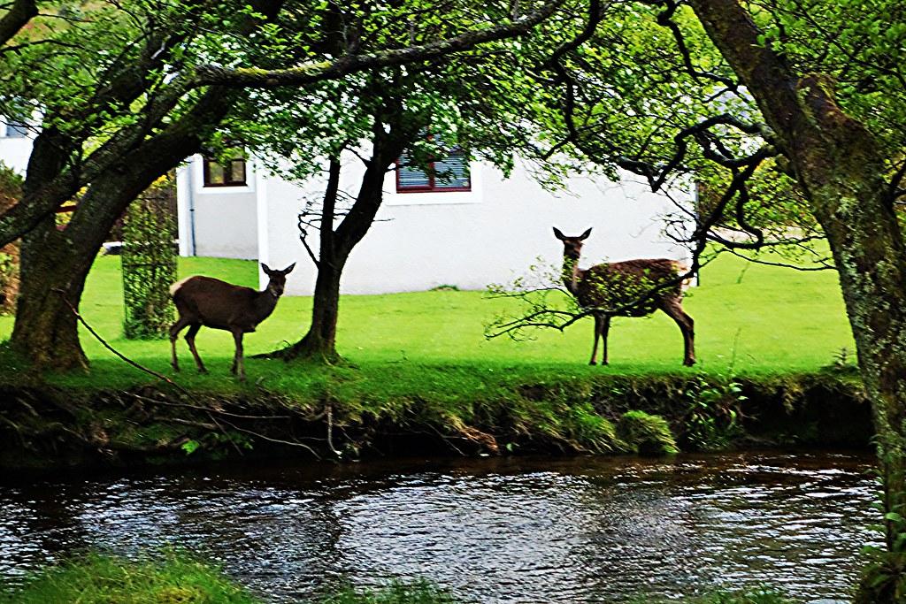 Red Deer at Lochranza, Arran.