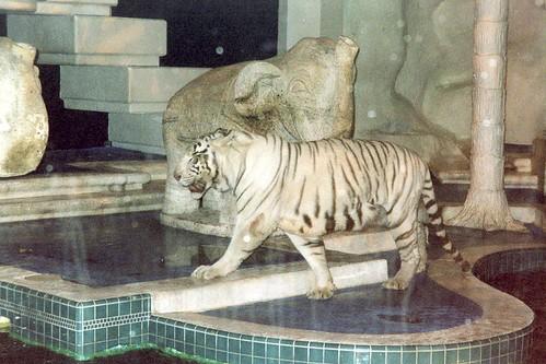 Las Vegas The Mirage Secret Gardens White Tigers Flickr