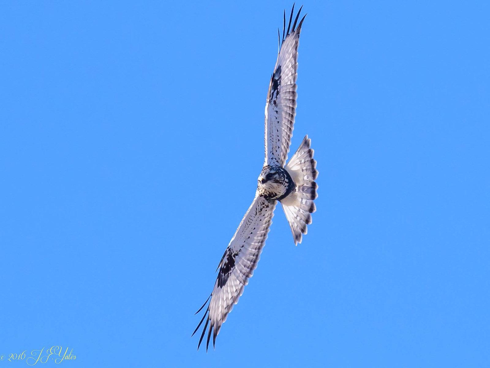 Rough Legged Hawk light morph