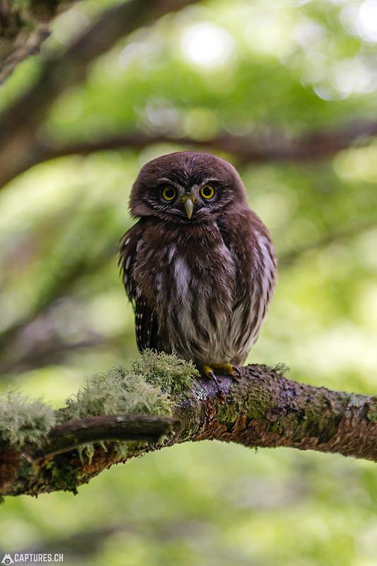 Austral Pygmy Owl - Torres del Paine
