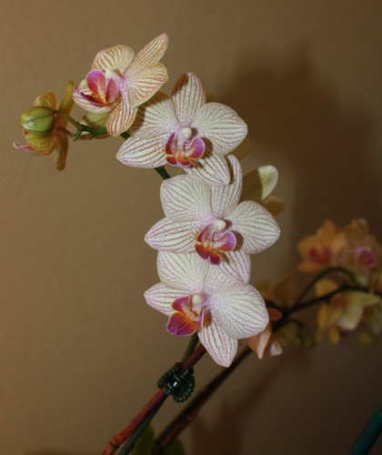 cheap_orchid