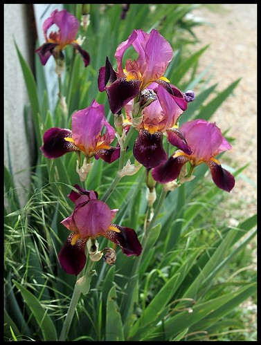 Neuf Iris de Cormillonne [identification non terminée] 21107257303_35b9c99d8c