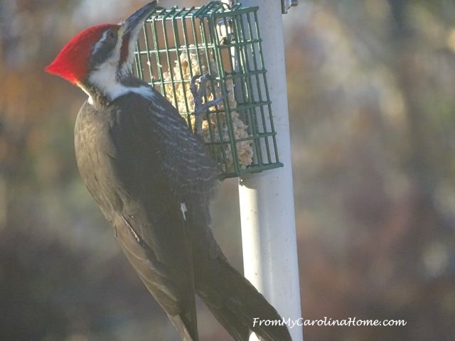 December Pileated Woodpecker 2