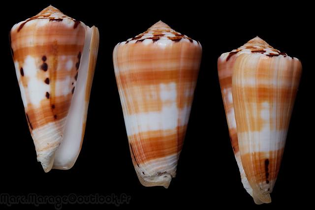 Conus (Pionoconus) barthelemyi  Bernardi, 1861 - Page 7 32104380335_c14a918258_z