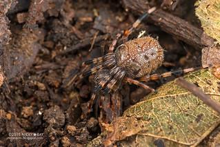 Orb weaver spider (Alpaida truncata) - DSC_3830