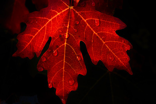 maple leaf - autumn - 10-09-11 01c