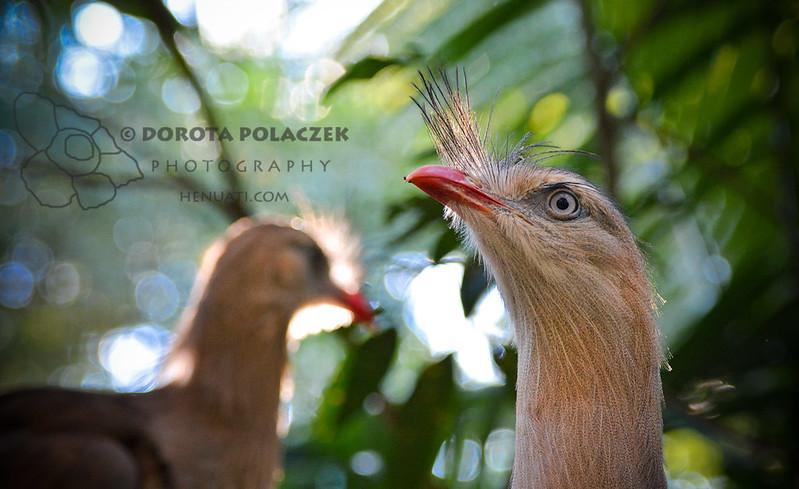 Red-legged seriema (Cariama cristata)