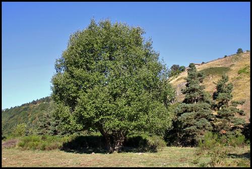 Salix caprea - saule marsault, saule des chèvres 31412550583_f96398e4c6
