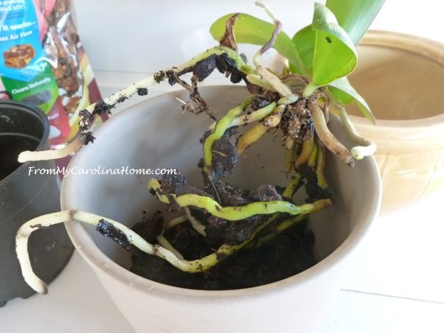 Orchid repotting 4
