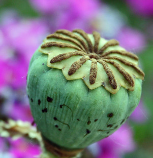 Poppy Pod | by linda yvonne